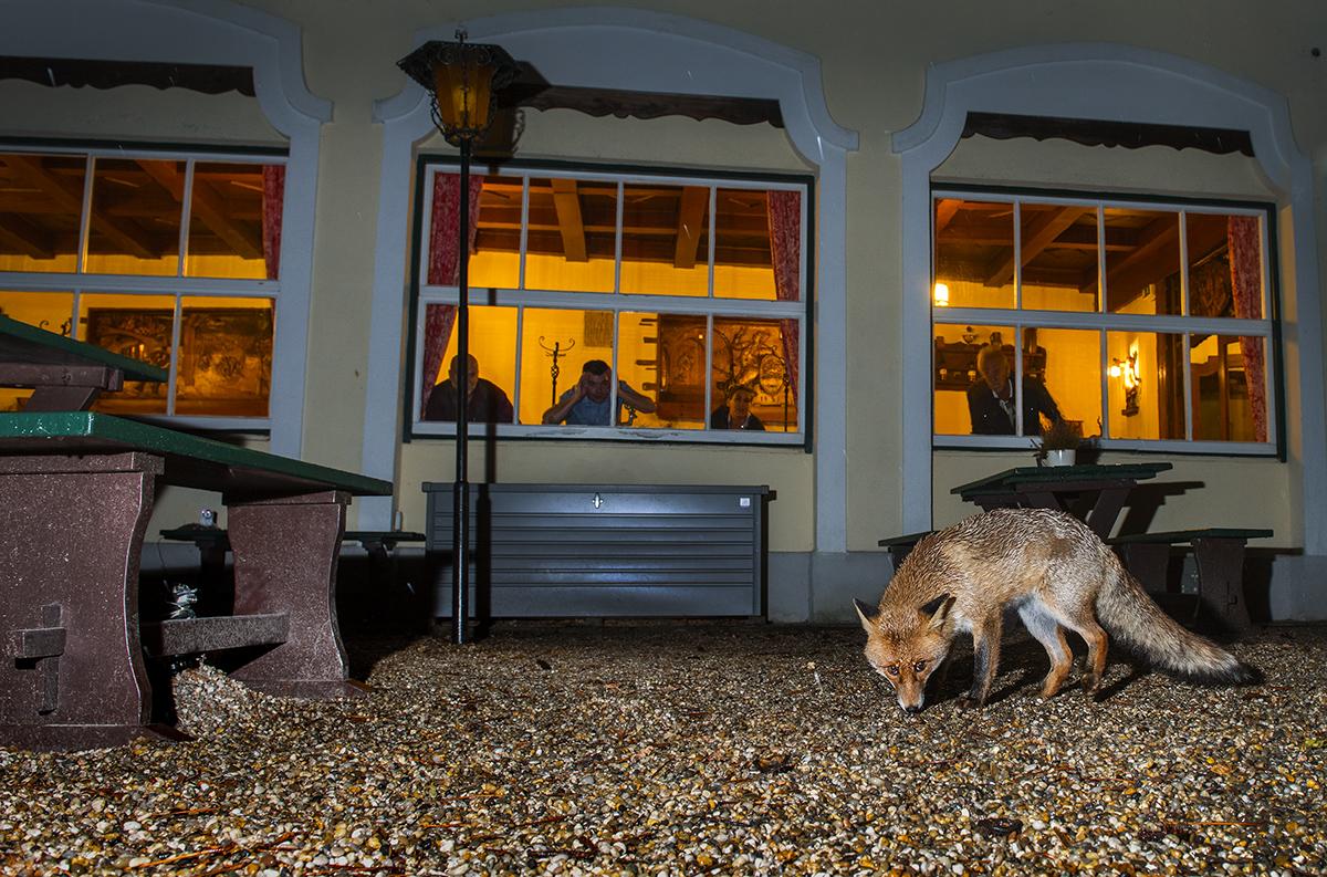 Red fox by Georg Popp