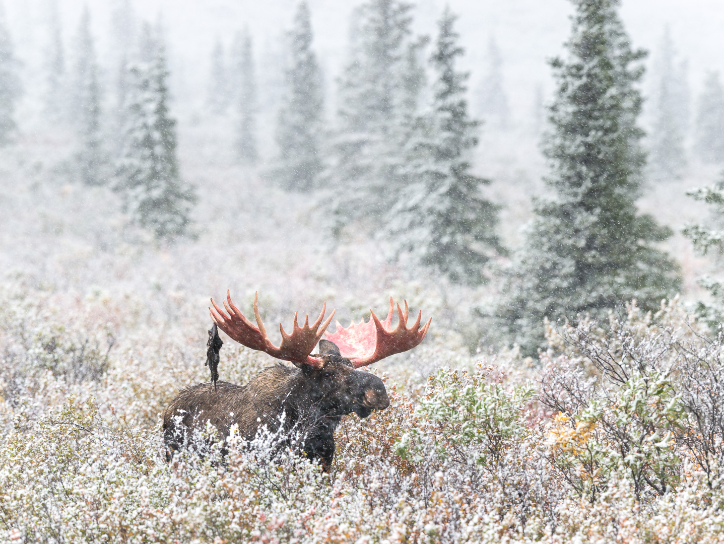 Elg i Alaska